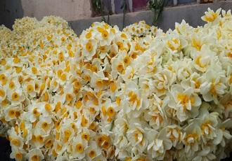 Champs de fleur en Iran