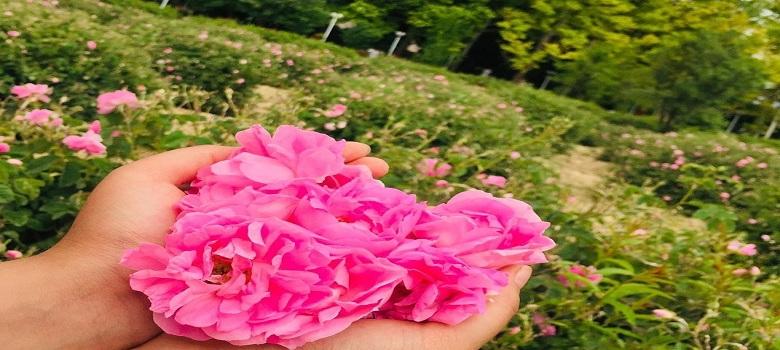 Festival des roses en Iran