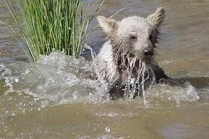 la vie d'ours bruns en Iran
