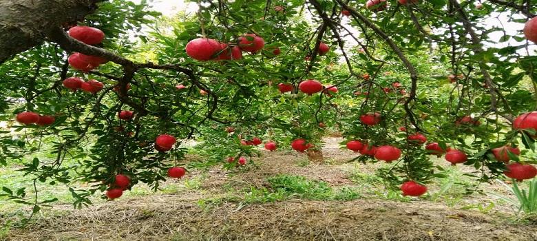 Iran Pomegranate Gardens Tour
