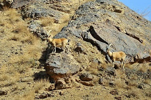 Iran Nature & Wildlife Tour, wide variety of wildlife in Iran